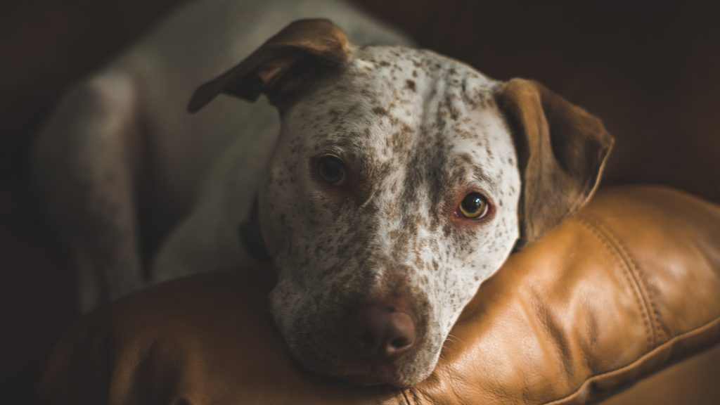 Dog dementia when to put down