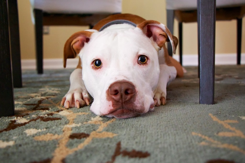 Is Your Dog Weak And Lethargic? Here is Why