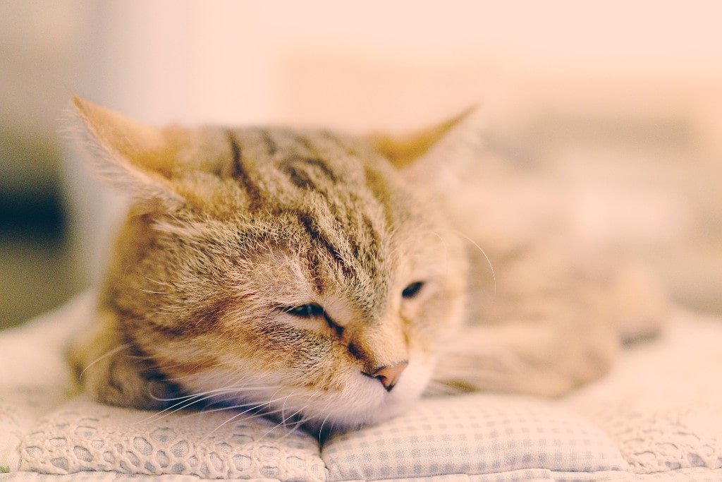 Cat Fever Causes Symptoms And Treatments