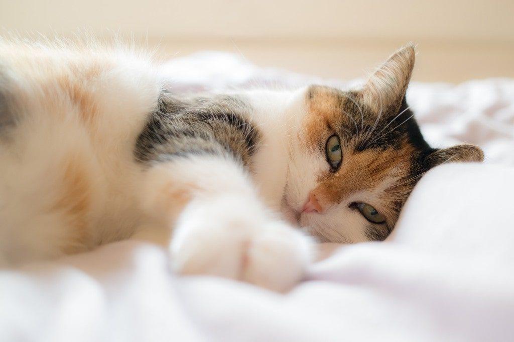 Cat Fever