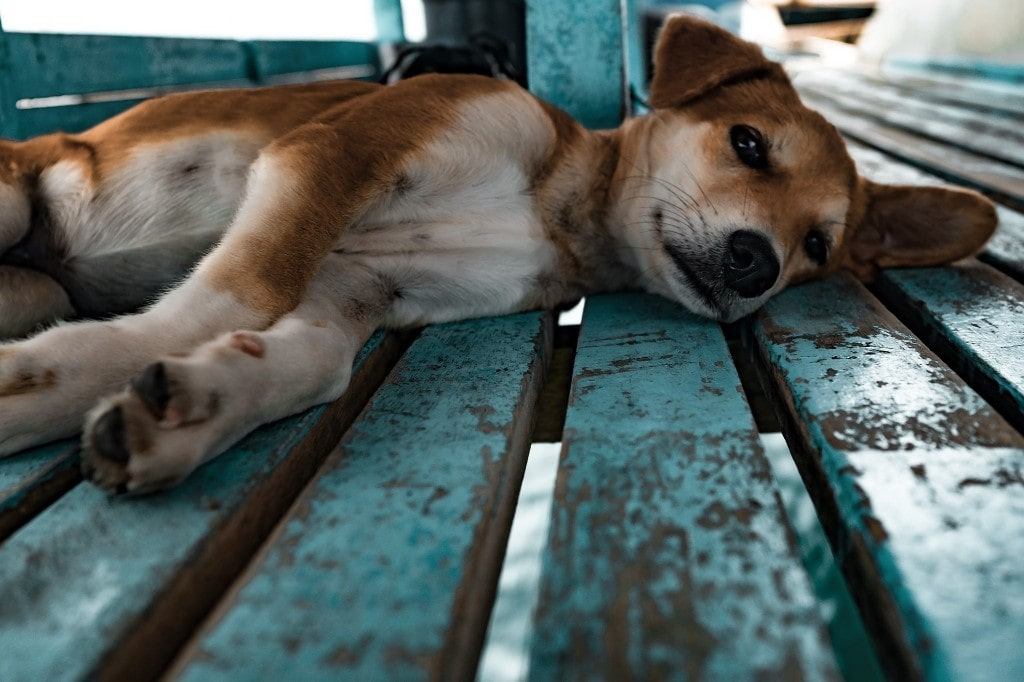 Dog Fever Causes Symptoms And Treatments