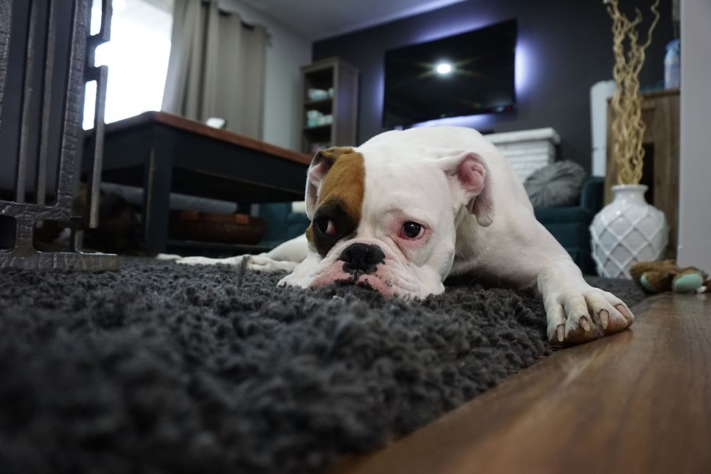 Blood In Dog's Urine