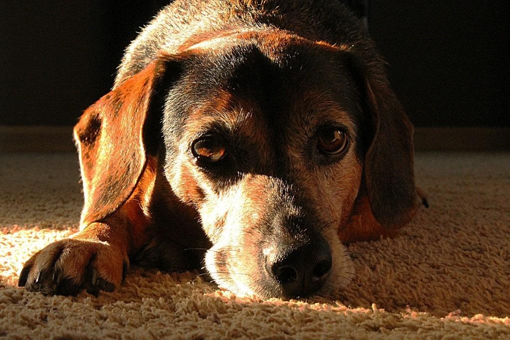 Emergency Dog Euthanasia