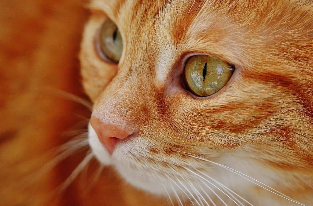 Types Of Cat Eye Discharge And What They Mean Cloud 9 Vets