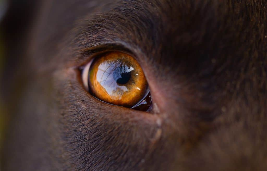 Is your dog eye discharge normal or abnormal