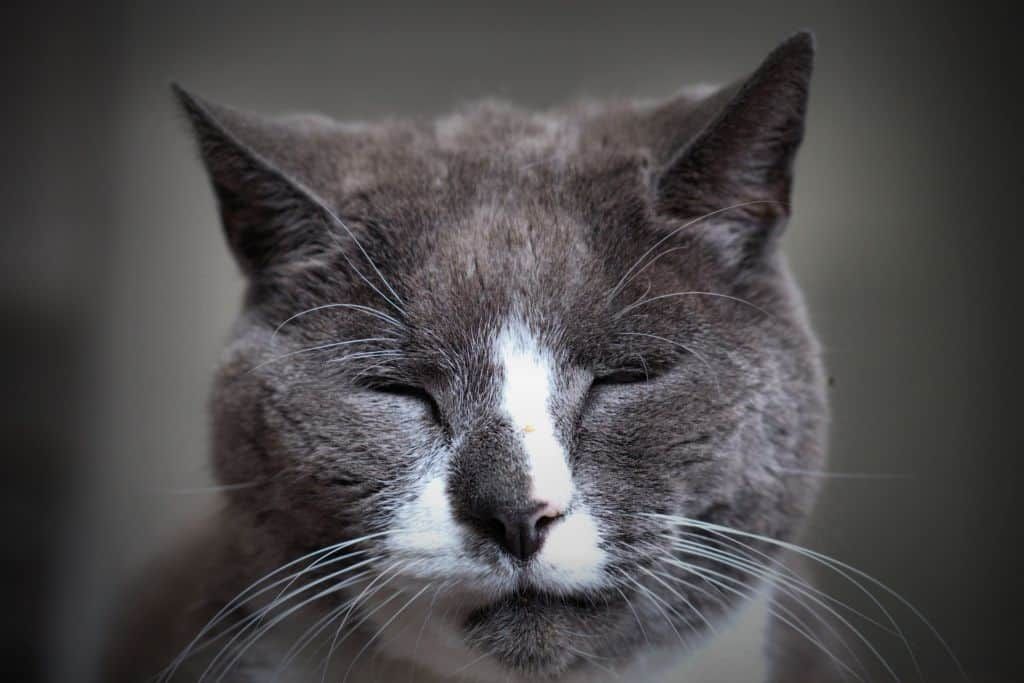 When to Euthanize a Cat with Feline Dementia