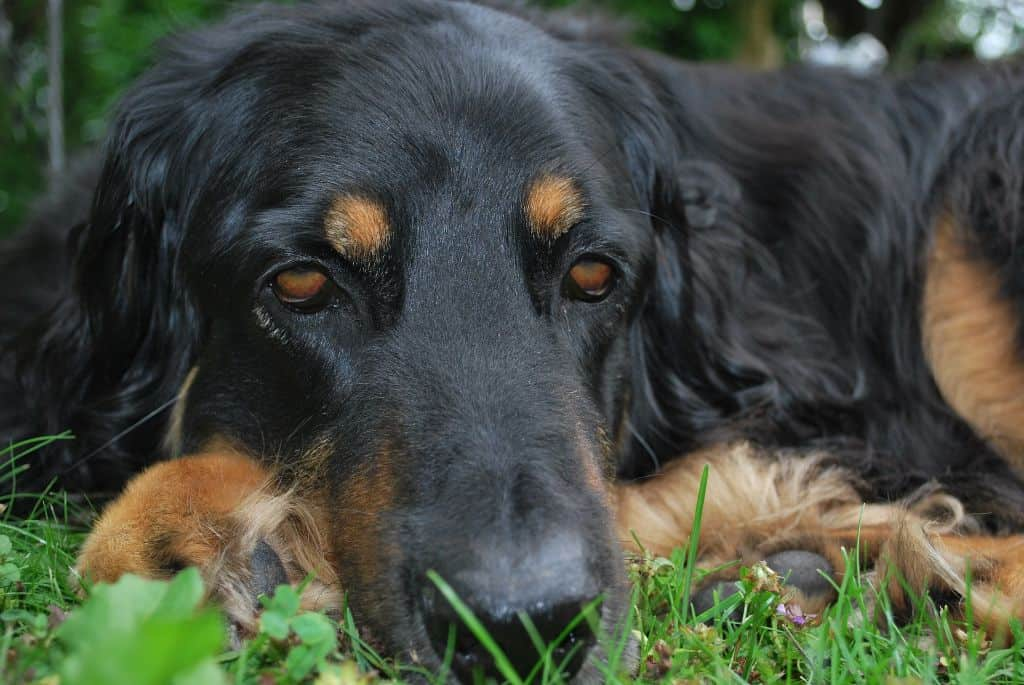 When To Euthanise A Dog With Cushing's Disease