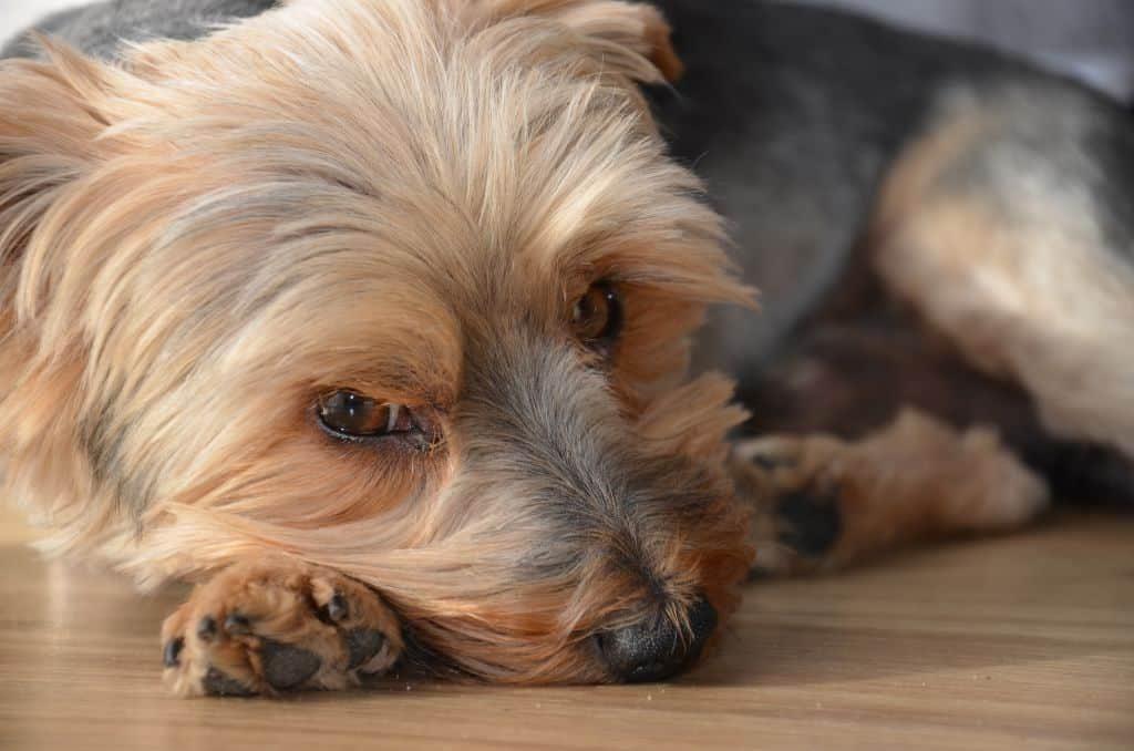 Dog With Cushing's Disease