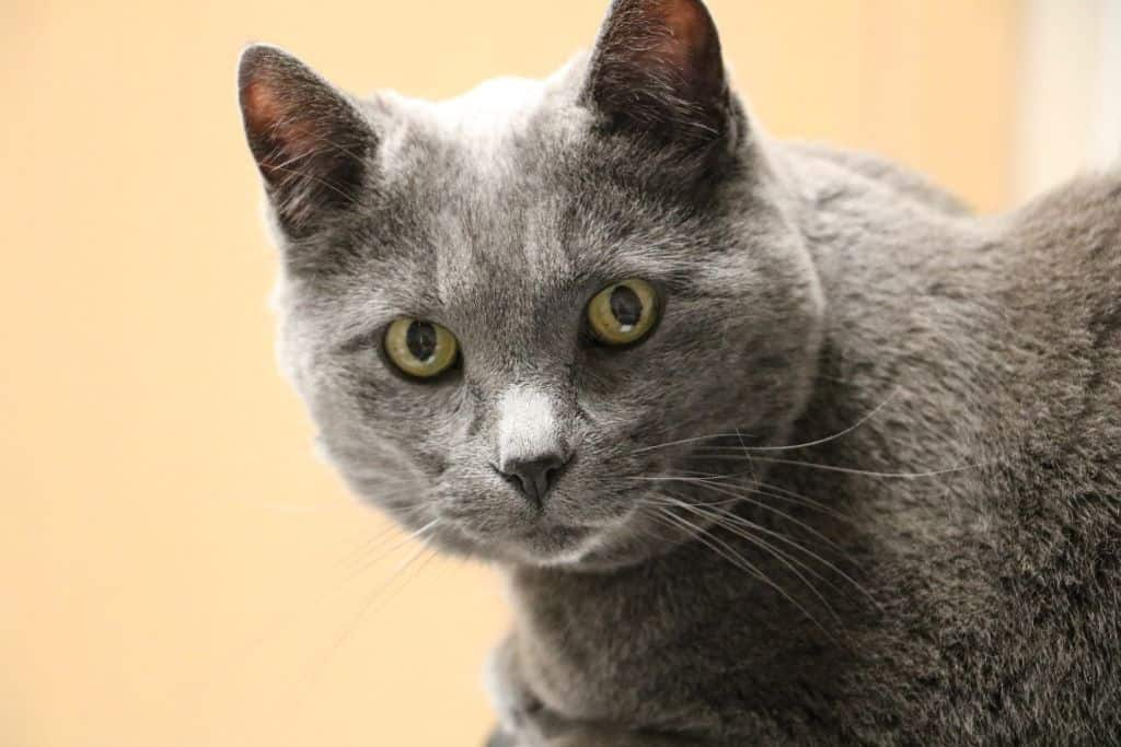 Cat Liver Failure When to Euthanize