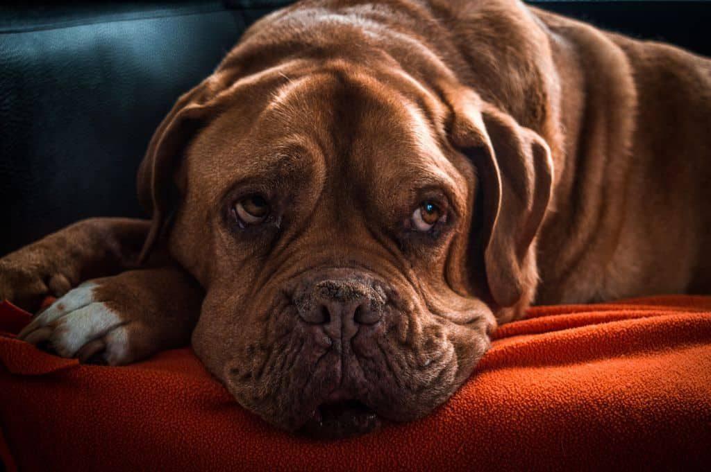 Old Dog laying on sofa