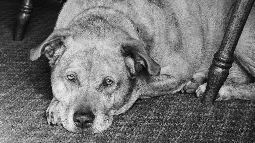 Dog Euthanasia due to kidney failure